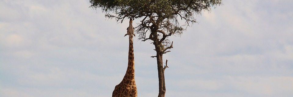 Afrika Kenia Giraffe